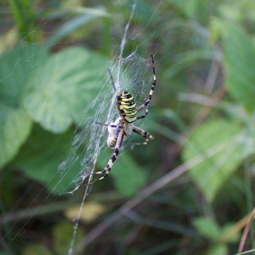 L'araignée épeire a capturé une guèpe