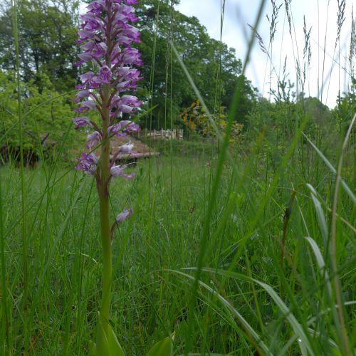 Orchidée sauvage militaire