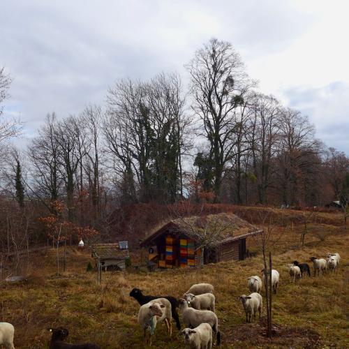 Les moutons en transhumance à Aubonne